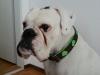 boxer-halsband