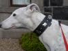 Greyhound Appenzellerhalsband