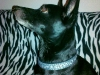 gizmo-hundehalsband