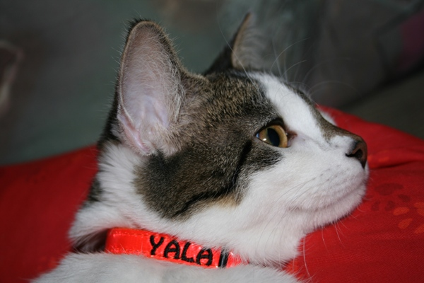 Katzenhalsband mit Name und Tel.